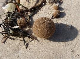 boules de la mer, Tunisie